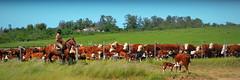 Cuchilla Caraguatá, Uruguay (Eduardo Amorim) Tags: gaúcho gaúchos gaucho gauchos cavalos caballos horses chevaux cavalli pferde caballo horse cheval cavallo pferd cavalo cavall馬 حصان 马 лошадь gado ganado cattle bétail bestiami vieh vaca cow vache mucca kuh boi buey ox boeuf mue rind vacas cows vaches mucche kühe bois bueyes oxen boeufs buoi cuchillacaraguatá cruzdeloscaminos tacuarembó uruguay uruguai sudamérica südamerika suramérica américadosul southamerica amériquedusud americameridionale américadelsur americadelsud ঘোড়া 말 סוס ม้า häst hest hevonen άλογο eduardoamorim pampa pampauruguaya campaña campañauruguaya