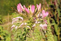 Tarenaya hassleriana (Chodat) Iltis - Kattensnor - BG Meise-001 (Ruud de Block) Tags: meisebotanicalgarden nationaleplantentuinmeise jardinbotaniquemeise ruuddeblock cleomaceae taxonomy:binomial=tarenayahassleriana tarenayahassleriana cleome kattensnor