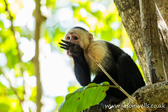 A white faced capuchin licking its hand clean (wellsie82) Tags: 6d americas cebuscapucinus costarica costaricaanimals guanacaste hotelriuguanacaste jasonwells latinamerica nicoyapeninsula pacificslope primate republicofcostarica riu riuguanacaste whitefacedmonkey animal bokeh branch canon capuchin centralamerica clean cleaning dryforest eating eos fauna feeding food hand holiday hotel inthewild jasonwellscouk landscapeformat leaves lick licking mammal monkey naturalhabitat naturalworld nature nopeople oneanimal outdoors resort rural sitting sittingdown travel tree vacation wellsie82 westernhemisphere whitefacedcapuchin whitethroatedcapuchin wild wildlife wwwjasonwellscouk