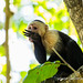 A white faced capuchin licking its hand clean
