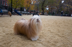 washington square park dog run (Charley Lhasa) Tags: ricohgrii grii 183mm 28mm35mmequivalent iso400 secatf28 0ev aperturepriority pattern noflash r010561 dng uncropped taken161124142538 uploaded161125010214 4stars flagged adobelightroomcc20157 lightroomcc20157 adobelightroom lightroom charley charleylhasa lhasaapso dog dogs washingtonsquareparkdogrun dogrun bigdogrun washingtonsquarepark wsp nycparks citypark urbanpark greenwichvillage manhattan newyorkcity nyc newyork ny tumblr161124 httpstmblrcozpjiby2f5fyaf