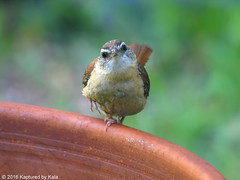 Hmmmm, What Is That Moving In The Window (Kaptured by Kala) Tags: thryothorusludovicianus carolinawren wren garlandtexas flowerpot container curious lookingatme closeup