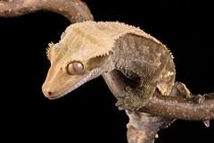Crested Gecko, CaptiveLight, Bournemouth, Dorset, UK