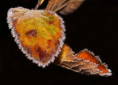 Leaf (1selecta) Tags: leaf frosty frosting frost black brown red white reddish dark shadow green organic nature natural cold winter autum december hoar hoary freeze freezing ice icy