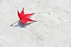 RED (Sign-Z) Tags: red leaf autumn nikon d500 afsdxnikkor1680mmf284eedvr 1680mmf284evr 赤 葉 紅葉 秋 maple