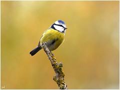 Msange bleue (nicphor) Tags: oiseau bird vgel tit meisen nature faune canon eos7d tamron150600 wildlife passereaux passriformes paridae parids