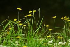 Au ras du sol (antoinebouyer) Tags: fleur nature jaune vert été