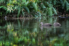 Pacific Black Duck (Anas Superciliosa) (Arturo Nahum) Tags: birdwatcher bird animal pajaros aves australia queensland ingham