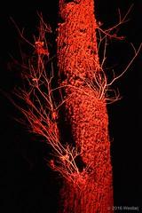 DSC04166 (Twareg) Tags: 2016 aboretum bpw enchanted forest westonbirt bathphotowalk gloucestershire england