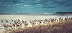 a huge herd of Springbok (Steven-ch) Tags: africa flock etosha safari etoshanationalpark travel namibia namutoni herd grass canon springbok fischerspan clouds oshikotoregion na