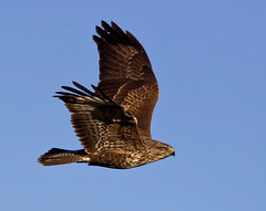 Common Buzzard (Buteo buteo ) -  Buzzard in the winters  setting sun  !! (Mid Glam Sam1) Tags: birdofprey wales mountain kite buzzard uplands inflight buteobuteo commonbuzzard raptor