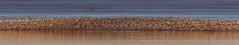 Dunlin Departure (3 of 6) (Robin M Morrison) Tags: dunlin riverparrett somerset