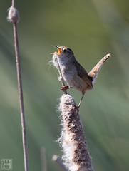 Marsh-Wren-0063 (SharonConstant) Tags: coyote bird hills marsh wren