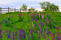 Fence Among The Lupines (KAM918) Tags: new color festival fence happy nikon purple hill nh hampshire sugar friday fenced wildflower lupine hff fench d3100