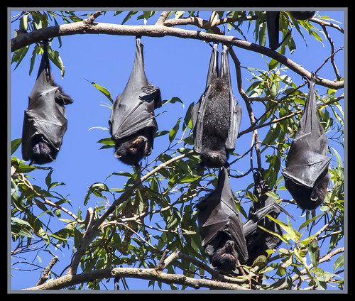 Redcliffe Fruit Bat Colony-02=
