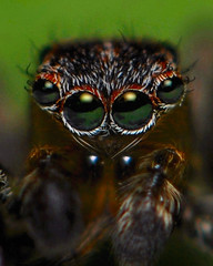 The Eyes Have It. (VonShawn) Tags: macro spider eyes arachnid jumper jumpingspider salticid salticidae extensiontubes nikond90