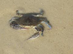 (RoBeRtO!!!) Tags: wet closeup sand crab sabbia granchio bagnata rdpic crustacen crostaceo canong7