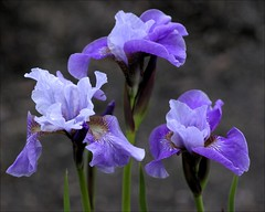 Iris (SomewhatNorth...) Tags: iris canada flower spring woodlands pentax alberta stalbert icc kx digikam languageofflowers amazingdetails silveramazingdetails somewhatnorth