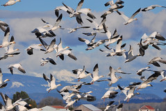 2013-01-25 Snow Geese (04) (D90 Archives) (-jon) Tags: bird flying geese conway flock flight goose pacificnorthwest pugetsound waterfowl anacortes washingtonstate laconner snowgeese skagitcounty snowgoose salishsea chencaerulescens firisland oiedesneiges a266122photographyproduction