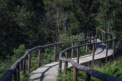 188-365 - meinweg national park (polomar) Tags: park bridge trees tree green nature netherlands project lan