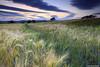 Stripes (SwaloPhoto) Tags: trees sunset field daisies scotland fife wheat farming silhouettes shift crops crombie agriculture tilt leefilters canoneos5dmkii canontse24mmf35lii bankheadfarm