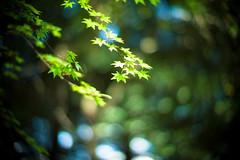 Green Song (moaan) Tags: life leica green leaves 50mm dof bokeh f10 momiji japanesemaple kobe utata noctilux mtrokko m9 refresh 2013 inlife leicanoctilux50mmf10 leicam9 futatabipark