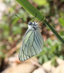 Black-veined White butterfly (Aporia crataegi) (iainrmacaulay) Tags: white black france butterfly veined aporia crataegi