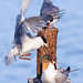 Forester Terns
