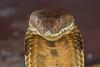 King Cobra (Erik Uebel) Tags: travel nature animal thailand asia beautifulmonsters