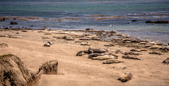 Elephant Seal beach (Margret Maria Cordts) Tags: ca elephant beach seal aug blancas piedras 2013