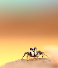 Salticidae Sunrise [Explored] (bojangles_1953) Tags: macro spider close jumpingspider salticidae