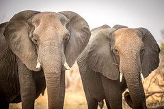 Elephants (TobyHawkes.co.nz) Tags: africanelephant
