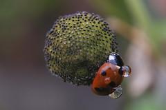 The fine art of hangin' on...... (Steenjep) Tags: macro natur nature mariehøne ladybug wet rain fall reflexions høstanemone
