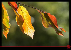 Vraies rousses (mamnic47 - Over 6 millions views.Thks!) Tags: paris automne contrejour feuilles parcdebagatelle img7757 jardinsdebagatelle feuillesrousses