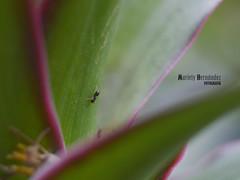 Entre las hojas (Mariely Hernndez) Tags: naturaleza macro verde green nature bug ant bicho hormiga