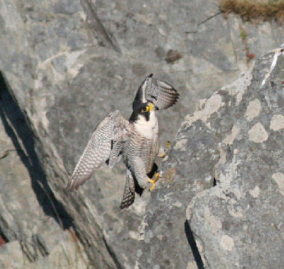 "Peregrine 2 • <a style=""font-size:0.8em;"" href=""https://www.flickr.com/photos/30837261@N07/10722506014/"" target=""_blank"">View on Flickr</a>"