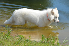 """Chase Chugging Some Water • <a style=""""font-size:0.8em;"""" href=""""http://www.flickr.com/photos/96196263@N07/10984810506/"""" target=""""_blank"""">View on Flickr</a>"""