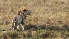 King Leo (Nitin's Photography) Tags: nature tanzania wildlife lion serengeti predator grassland mane specanimal specanimalphotooftheday anawesomeshot canon5dmkiii