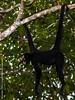 macaco-aranha-de-cara-branca (Ateles marginatus) - White-cheeked spider monkey