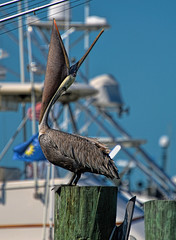 Let's Howl (Susan Hall Frazier) Tags: birds harbor dock adult keywest behavior birdwatching brownpelican comical nikond800 headthrow vision:mountain=0549 vision:outdoor=095