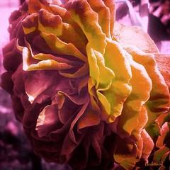 Rosa... (Carletta20) Tags: flowers trees italy flower macro art nature beautiful yellow canon photography italia fotografie magic scenic natura nixon explore fiori product flowes ab800 flowerdome d700 naturetreasures mygearandme exploredgrid