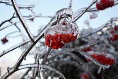 Rouge en Glace (eatpraybake.hf) Tags: trees winter light red snow toronto canada ice season frozen nikon soft berries bokeh branches icicles