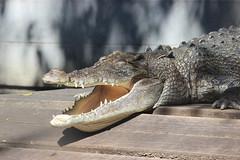 Yawn (zactom1998) Tags: sydney crocodile tarongazoo