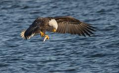 Eagle 16 (Jan Crites) Tags: winter bird river flying fishing nikon eagle zoom wildlife flight sigma iowa raptor mississippiriver soaring americanbaldeagle d600 leclaire lockanddam14 150500mm