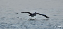 DSC_0028 (RUMTIME) Tags: bird nature water birds fly flying flight feathers feather pelican queensland coochiemudlo abigfave