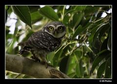 Spotted Owlet - (Athene brama) (RAMASUBRAMANIYAN) Tags: bird chennai vedanthangal spottedowlet athenebrama