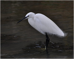 Little Egret   Explored on 23rd Jan 2014 at #111 (IrishRedKite) Tags: little egret vision:outdoor=0839