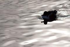 Les yeux jaunes des canards souchets (Laurent Echiniscus) Tags: newyorkcity canon centralpark reservoir northern shoveler canard anatidae anseriformes jacquelinekennedyonassisreservoir eos450d souchet eosdigitalrebelxsi