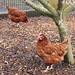 A Hen Called Pricilla 8589