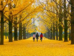Foliage in Kumamoto, Japan  (Mr. Ansonii) Tags: red walking panasonic foliage    gingko kumamoto yellowleaves   dmctz3  kumamotoprefecturaloffice